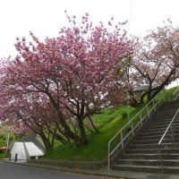 片瀬山の八重桜